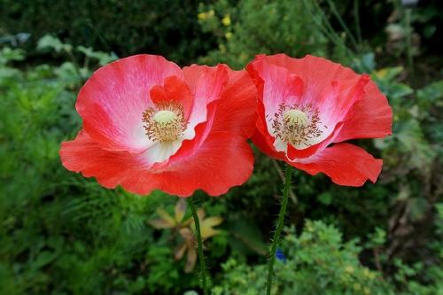 poppy and poppy