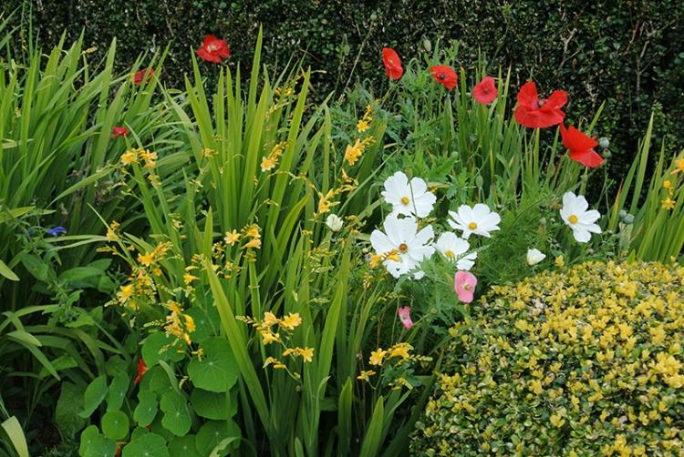 crocosmia and poppies