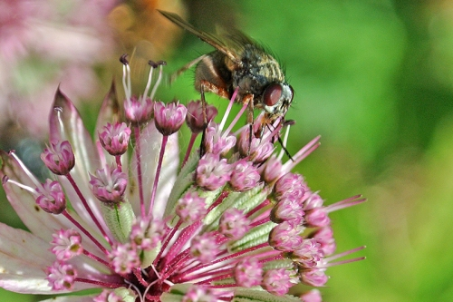 astrantia with fly