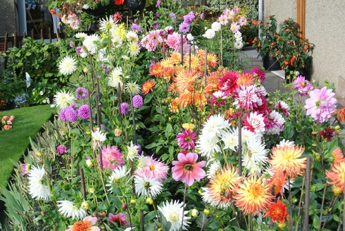 Jim's dahlias