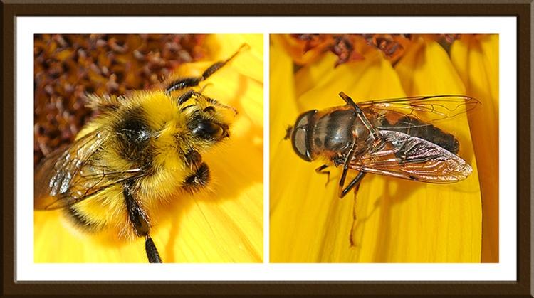 rudbeckia and sunflower