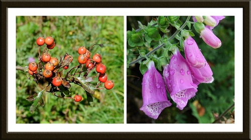 foxglove and haw