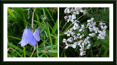 harebell and white thing