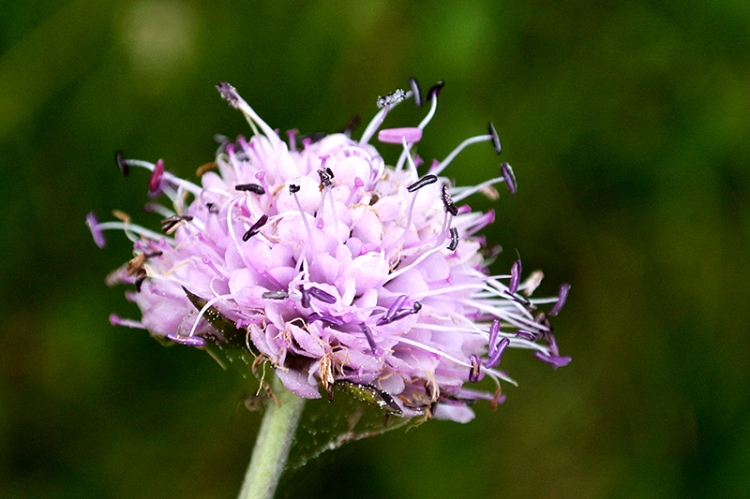 pink scabious