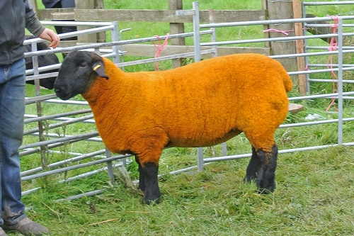 champion sheep
