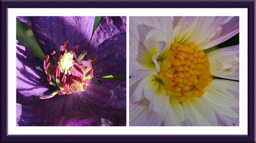 clematis and dahlia