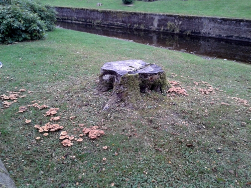 chestnut tree and fungus