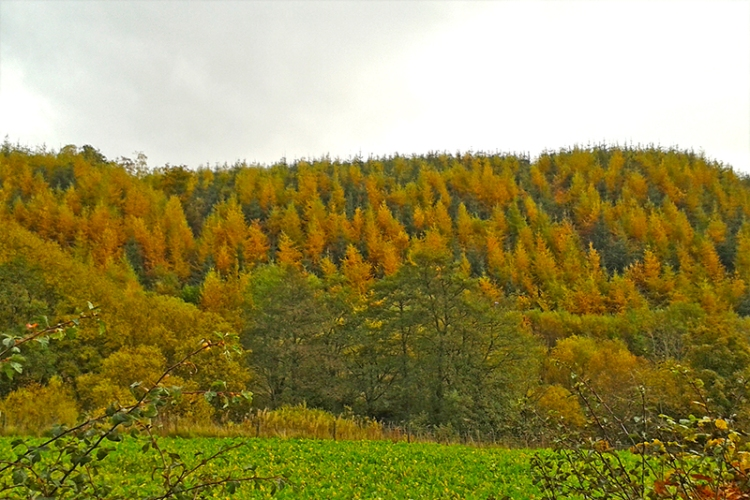 larches at High Mill Brig