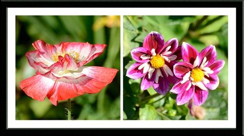 poppy and dahlia