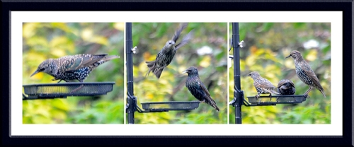 starlings at new feeder