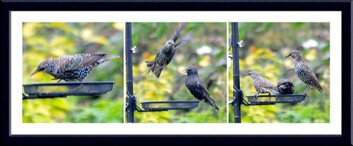 starlings at new feeder