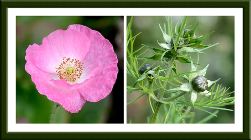 poppies and cosmos