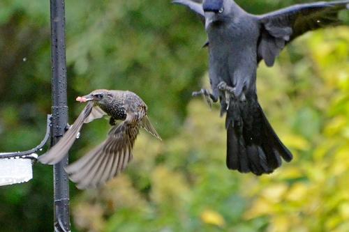 starling and jackdaw