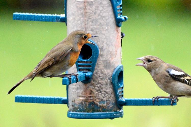 ranting robin