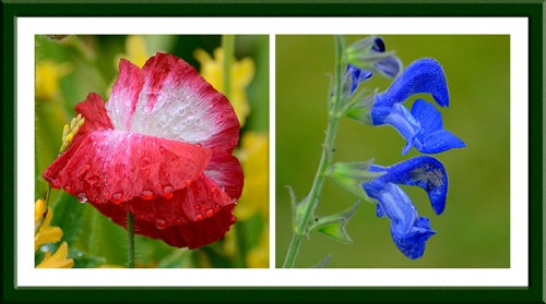 poppies and salvia
