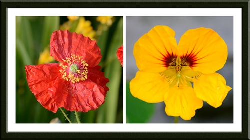 poppy and nasturtium