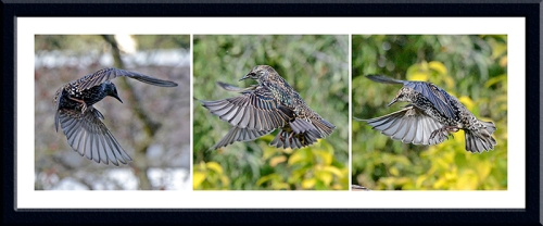 starlings flying