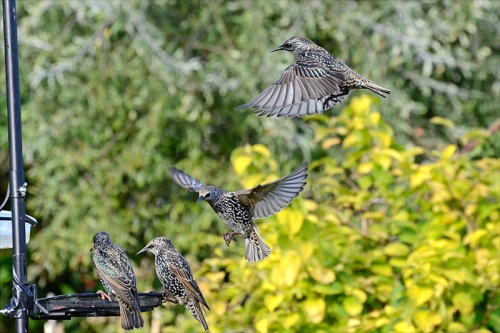starlings queuing up