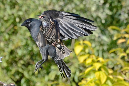 jackdaw and starling