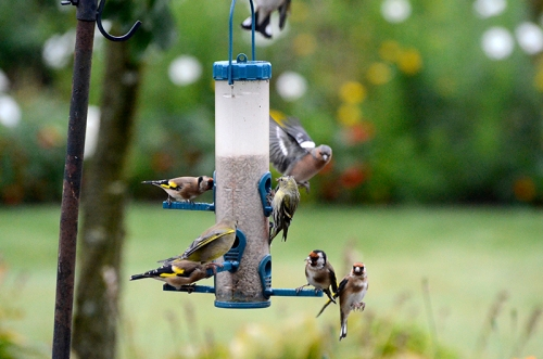 Goldfinch, greenfinch, siskin and chaffinch compete for a place