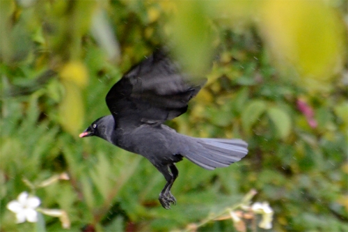 jackdaw with pink pellet