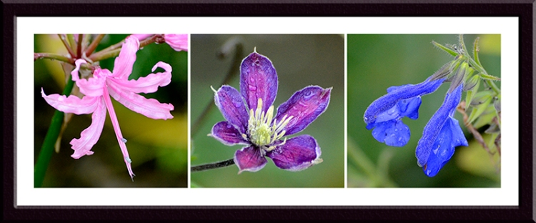 nerine, clematis and salvia