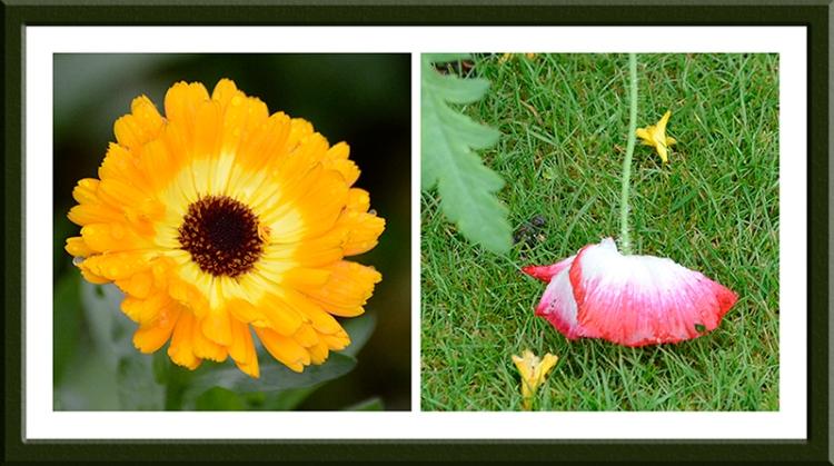 marigold and poppy