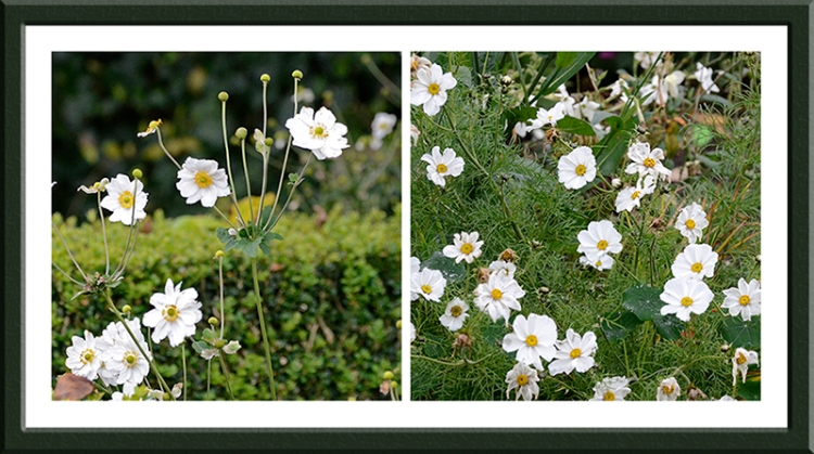 Japanese anemones and cosmos