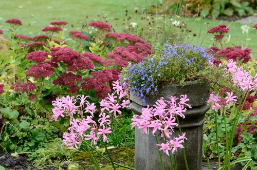 sedum, nerines and lobelia