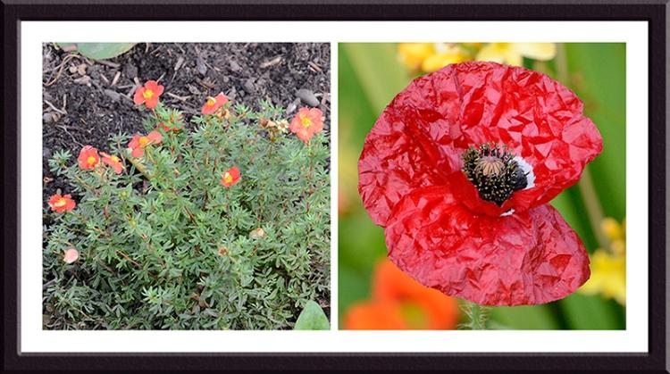 potentilla and poppy