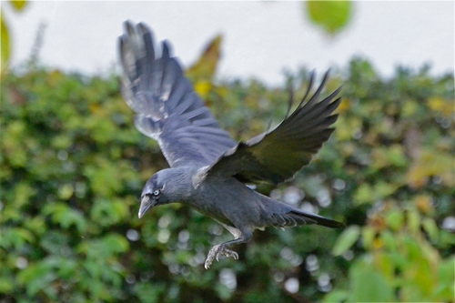 flying jackdaw