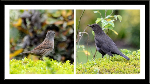 dunnock and blackbird