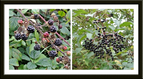 brambles and elderberries
