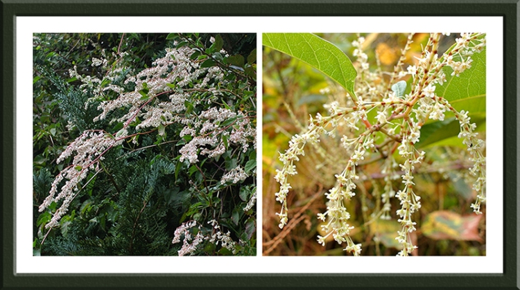 A Russian vine and Japanese knotweed