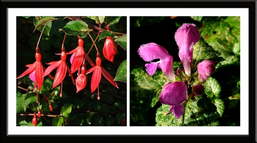 fuschsia and lamium