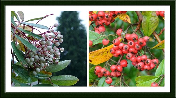 clinthead berries
