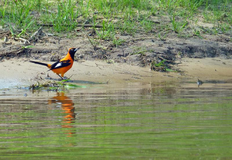 panatal bird