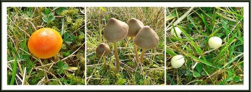 whita fungus