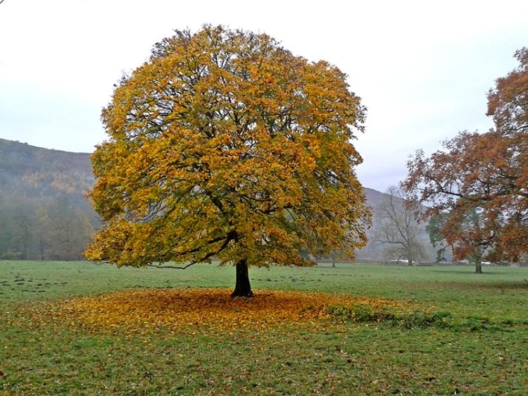 castleholm tree