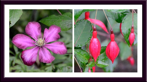 clematis and fuchsia