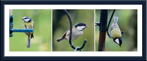 blue tit, coal tit and great tit