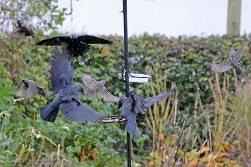 starlings and jackdaws