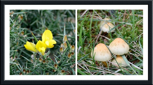 Buttermere gorse and fungus