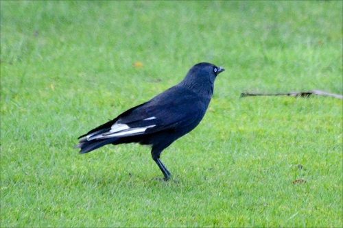 jackdaw white patch