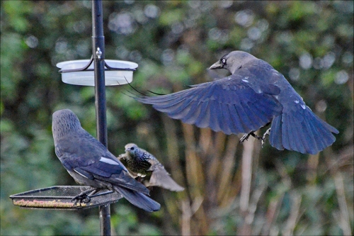 white patch jackdaws