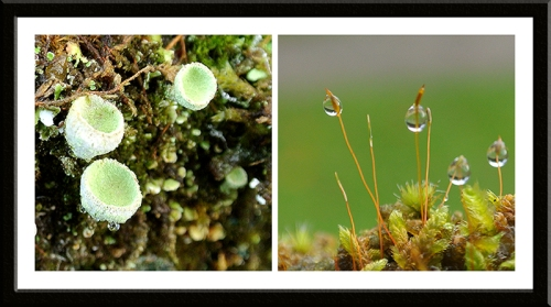 pixie cup and moss