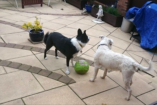 footballing dogs