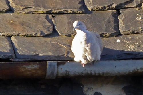 Edinburgh pigeon