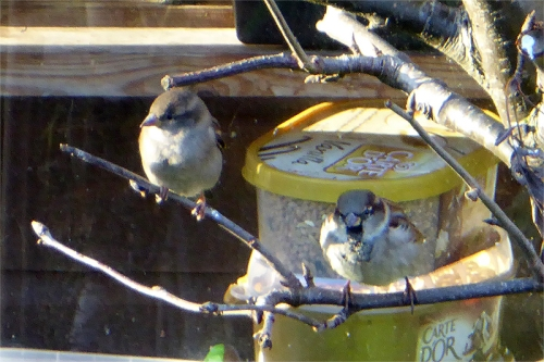 Edinburgh sparrows