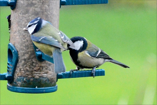 blue tit and great tit
